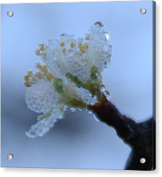 Morning Dew Acrylic Print by Julie Cameron