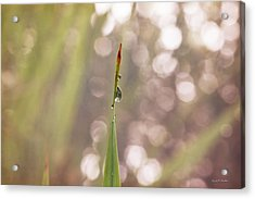 Morning Dew On A Grass Acrylic Print by Angela A Stanton