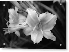 Acrylic Print featuring the photograph Morning Dew On Lilies by Ross Henton