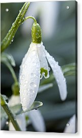 Morning Dew On Snowdrop Acrylic Print