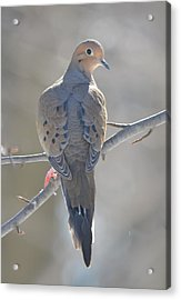 Mourning Dove Acrylic Print by Richard Bryce and Family