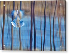 Morning Dove Acrylic Print by Theresa Tahara