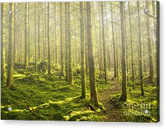 Morning Fog In The Forest Acrylic Print