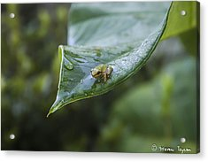 Morning Frog  Acrylic Print by Steven  Taylor