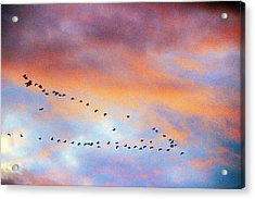 Morning Geese Acrylic Print