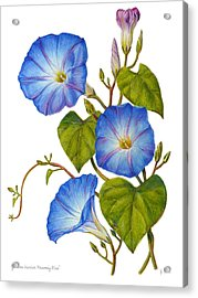 Morning Glories - Ipomoea Tricolor Heavenly Blue Acrylic Print
