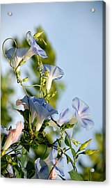 Acrylic Print featuring the photograph Morning Glories by Susan D Moody