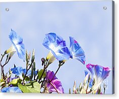 Morning Glory Flowers Acrylic Print