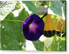 Acrylic Print featuring the photograph Morning Glory by John Mathews