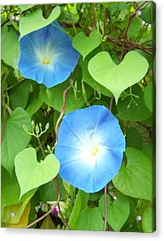 Morning Glory Acrylic Print by Noreen HaCohen