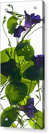 Morning Glory Rising Acrylic Print by Julia McLemore