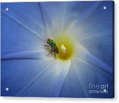 Morning Glory Visitor 1 Acrylic Print