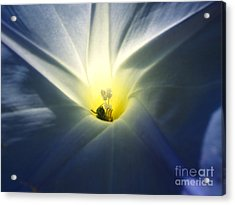 Morning Glory Visitor 2 Acrylic Print