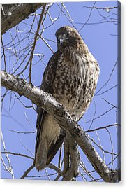 Morning Hawk Acrylic Print