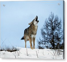 Acrylic Print featuring the photograph Morning Howl by Jack Bell