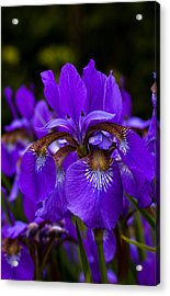 Morning Iris Acrylic Print