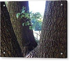 Morning Light In The Walnut Tree Acrylic Print