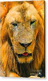 Morning Lion Acrylic Print