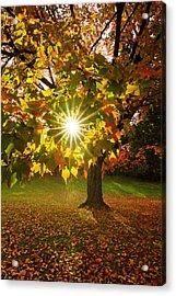 Morning Maple Acrylic Print