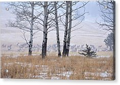 Morning Of The Elk Acrylic Print