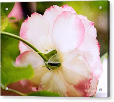 Morning Rose Acrylic Print by Bobbi Feasel