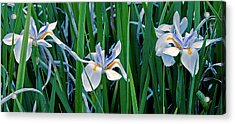 Acrylic Print featuring the photograph Morning Smile - Wild African Iris by Donna Proctor