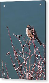 Morning Sparrow Acrylic Print by Jan Davies
