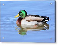 Morning Swim Of The Mallard Acrylic Print