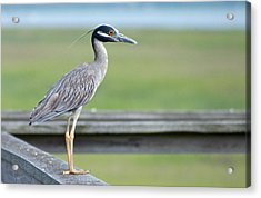 Morning Treasure Night Heron Acrylic Print