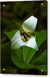 Acrylic Print featuring the photograph Morning Trillium by Haren Images- Kriss Haren