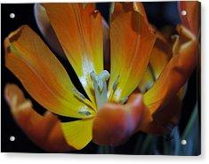 Morning Tulip Acrylic Print by Vallee Johnson