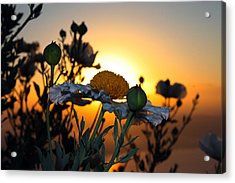 Morning's Glory Acrylic Print