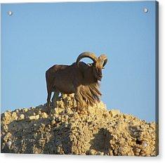 Moroccan Barbary Sheep Acrylic Print by Noreen HaCohen