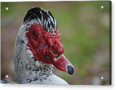 Moscovy Duck With Hairdo Acrylic Print by Jeff at JSJ Photography