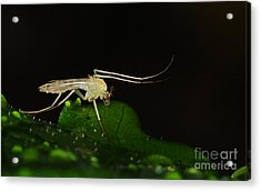Mosquito Acrylic Print by Paul Ward