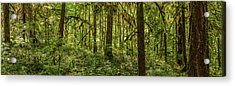 Moss Covered Fir Trees In Temperate Acrylic Print