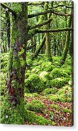 Moss Covered Trees In Killarney Acrylic Print
