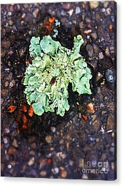 Moss On Cement Acrylic Print by Amy Cicconi