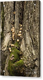 Acrylic Print featuring the photograph Moss-shrooms On A Tree by Carol Lynn Coronios