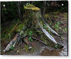Mossy Tree Stump Acrylic Print by Amanda Holmes Tzafrir