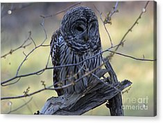 Acrylic Print featuring the photograph Mostly Awake by Randy Bodkins