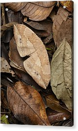 Moth Camouflaged Against Leaf Litter Acrylic Print