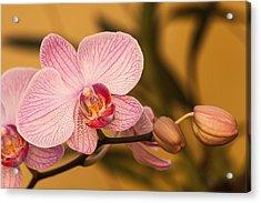Moth Orchid Acrylic Print by Ed Gleichman