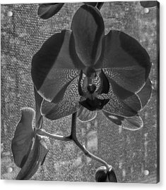 Acrylic Print featuring the photograph Moth Orchid In Window by Ron White