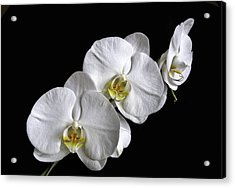 Moth Orchid Trio Acrylic Print by Ron White