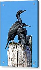 Mother And Baby Brandt's Cormorants Acrylic Print