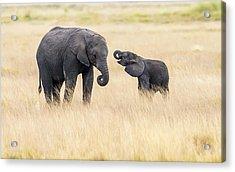 Mother And Baby Elephants Acrylic Print by Hua Zhu