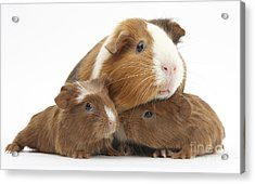 Mother And Baby Guinea Pigs Acrylic Print