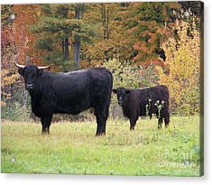 Acrylic Print featuring the photograph Highland Cattle  by Eunice Miller