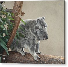 Mother And Child Koalas Acrylic Print
